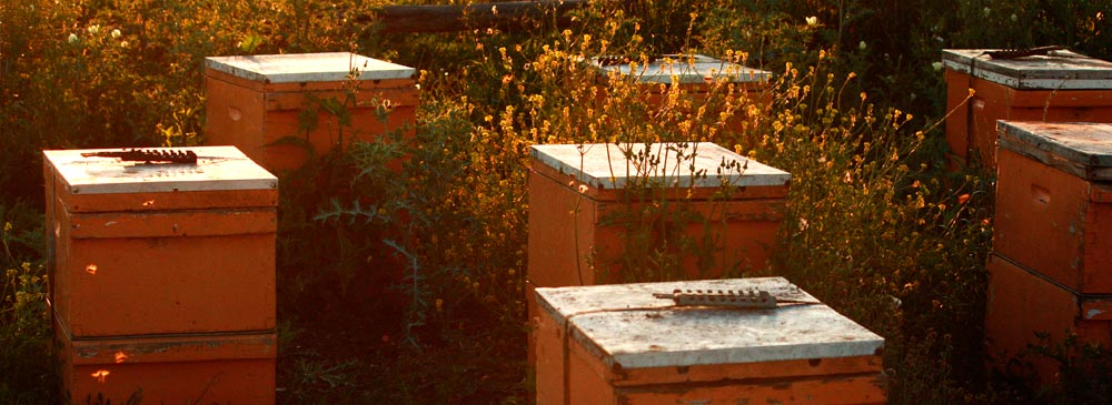 hives in the evening light