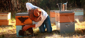 With concern over the future of bees Jeffrey compiled an award-winning paper on the subject. Neonicotinoids in Australia was published in Australasian Beekeeper Journal 2011-2012.