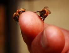 bees-on-finger